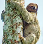 Three-toed Sloth Bradypus Tridactylus Art Print