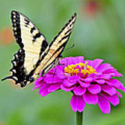 Tiger Swallowtail Butterfly On Zinnia Art Print