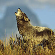 Timber Wolf Howling Idaho Art Print