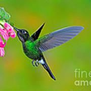 Tourmaline Sunangel Hummingbird Art Print