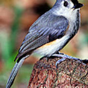 Tufted Titmouse Parus Bicolor Art Print
