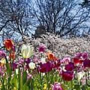 Tulips At Dallas Arboretum V94 Art Print