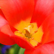 Tulips At Thanksgiving Point - 28 Art Print