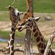 Two Reticulated Giraffes  - Giraffa Camelopardalis Art Print