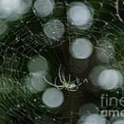 Venusta Orchard Spider Art Print