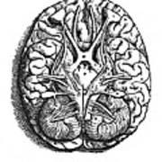 Vesalius: Brain Art Print