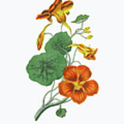 Victorian Botanical Illustration Of Art Print