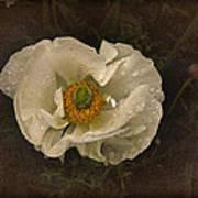 Vintage White Poppy Art Print