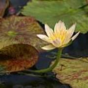 Water Lily 25 Art Print