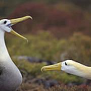 Waved Albatross Courtship Display Art Print by Tui De Roy