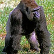Western Lowland Gorilla Silverback Art Print