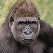 Western Lowland Gorilla Young Male Art Print