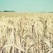 Wheat Crop Art Print