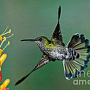 White-necked Jacobin Art Print