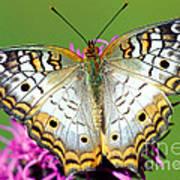 White Peacock Butterfly Anartia Art Print