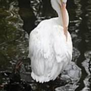 White Pelican Art Print