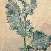 White Poppy Art Print