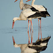 White Storks Ciconia Ciconia In A Lake Art Print