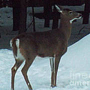 White Tail Deer Art Print by Brenda Brown