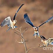 White-tailed Kite Siblings Art Print