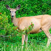 Wild Deer Art Print