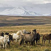Wild Icelandic Horses Art Print