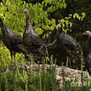 Wild Turkey Meleagris Gallopavo Art Print