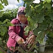 Wine Grape Harvest Art Print