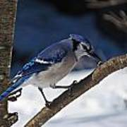 Hungry Winter Blue Jay Art Print