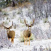 Winter Bucks Art Print