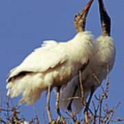 Wood Stork Courtship Display Art Print