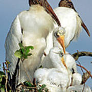 Wood Stork With Nestlings Art Print