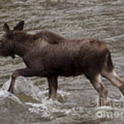 Yearling Moose In The Shoshone River   #1289 Art Print