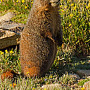 Yellow Bellied Marmot On Alert In  Rocky Mountain National Park Art Print