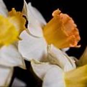 Yellow Daffodils Art Print by John Holloway