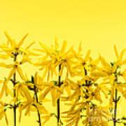 Yellow Forsythia Flowers Art Print