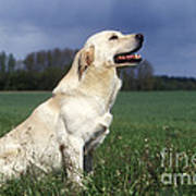 Yellow Labrador Art Print