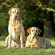 Yellow Labrador Retrievers Art Print