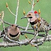 Yellow-shafted Northern Flickers Art Print