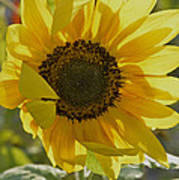 Yellow Sunflower Art Print