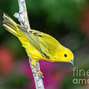 Yellow Warbler Dendroica Petechia Art Print