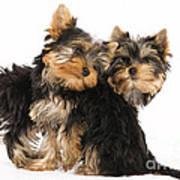 Yorkie Puppies Art Print