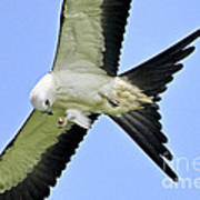 Young Swallow-tailed Kite Art Print