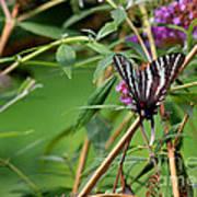 Zebra Swallowtail Butterfly At Butterfly Bush Art Print