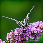 Zebra Swallowtail Butterfly Square Art Print