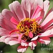 Zinnia From The Whirlygig Mix Art Print