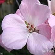 Zonal Geranium Named Tango Light Orchid Art Print
