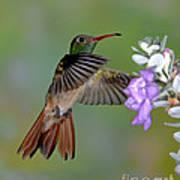 Buff-bellied Hummingbird Art Print