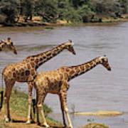 Girafe Reticulee Giraffa Camelopardalis Art Print