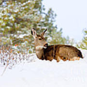 Mule Deer In Snow Art Print